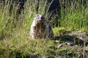 "Mumeltier (Marmota); Grimselpass (2164müM); ""Munk Guantanamo""!"