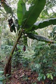 Sierra del Escambray, Parque Guanayara. Plátano (Bananenbaum)