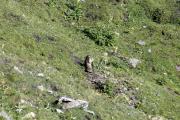 Cab. de Chanrion |  Marmota marmota