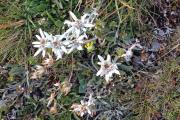Cab. de Chanrion |  Leontopodium nivale