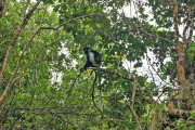 Angola-Stummelaffe (colobus angolensis) -> www.colobustrust.org. Chale Island, Kenia