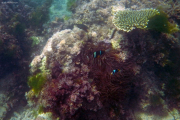 Korallen und Seeanemonen vor Chale Island, Kenia