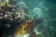 Korallen vor Chale Island, Kenia