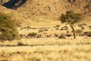 Grosse Herde von Oryxantilopen (Spiessböcke). Gästefarm Ababis