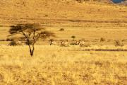 Oryxantilopen. Gästefarm Ababis