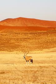 Oryxantilope vor Sanddünen der Namib bei Sossusvlei