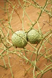 Nara-Melonen (Acanthosicyos horridus). Namib-Wüste bei Swakopmund