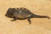 Wüstenchamäleon (Chamaeleo namaquensis). Namib-Wüste bei Swakopmund