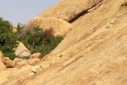 Klippschliefer (Procavia capensis) bei der Spitzkoppe