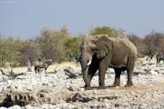 Elefantenbulle und Spiessbock an der Ombika Wasserstelle. Etosha National Park.