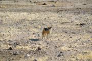 Schabrackenschakal (Canis mesomelas). Etosha National Park.
