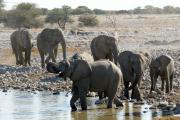 Elefantenherde bei der Okaukuejo Wasserstelle. Etosha National Park