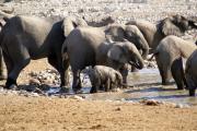 Elefantenherde beim Bad in der Okaukuejo Wasserstelle.  Etosha National Park