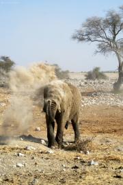 Elefantenbulle nimmt eine Staubdusche. Okaukuejo Wasserstelle.  Etosha National Park