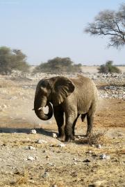 Elefantenbulle. Okaukuejo Wasserstelle.  Etosha National Park