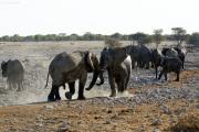 Gerangel zw. jungen Elefantenbullen. Okaukuejo Wasserstelle.  Etosha National Park