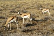Springböcke (Antidorcas marsupialis). Etosha National Park