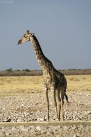 Giraffa camelopardalis angolensis an einer Wasserstelle im Etosha National Park