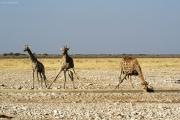 Giraffen beim Drinken an einer Wasserstelle. Etosha National Park