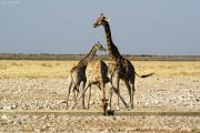Giraffen an einer Wasserstelle. Etosha National Park