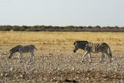 Steppenzebras. Etosha National Park