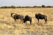 Streifengnus. Etosha National Park