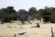 Junger Löwe (Panthera leo). Ombika Wasserstelle. Etosha National Park