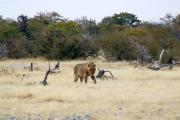 Junger Löwenkater an der Ombika Wasserstelle. Etosha National Park.