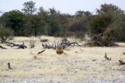 Löwenkater an der Ombika Wasserstelle. Etosha National Park.