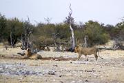Junge Löwenkater an der Ombika Wasserstelle. Etosha National Park.