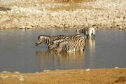 Steppenzebras beim Bad in der Okaukuejo Wasserstelle. Etosha National Park