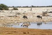 Streifengnus, Springböcke und ein Oryx an der Okaukuejo Wasserstelle