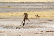 Springböcke und eine Giraffe beim Drinken. Etosha National Park