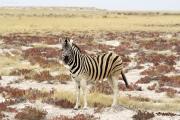 Steppenzebra (Equus quagga). Etosha National Park