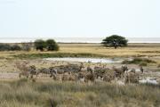 Steppenzebras am Rand der Etosha-Pfanne