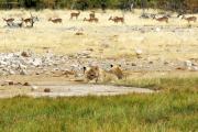 Junge Löwinen machen Siesta an einer Wasserstelle. Etosha National Park.