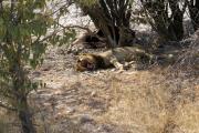 Löwe gähnt sich neben einem erlegten Zebra in den Schlaf. Etosha National Park