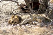 Löwe döst neben einem erlegten Zebra. Etosha National Park