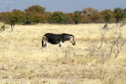 Steppenzebra mit Melanismus (?). Etosha National Park