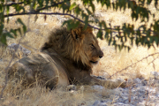 Löwenkater. Etosha National Park