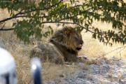 Löwenkater, leicht genervt ob den vielen Touristen... Etosha National Park