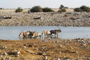 Spiessböcke (Oryx gazella) baden in der Okaukuejo Wasserstelle. Etosha National Park