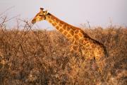Giraffe inmitten von dornigen Akazien. Etosha National Park