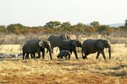 Elefantemherde mit Jungtieren unterwegs zur Okaukuejo Wasserstelle