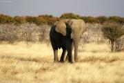 Junger Elefantenbulle (Loxodonta africana) bei Okaukuejo. Etosha National Park
