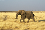 Junger Elefantenbulle bei Okaukuejo. Etosha National Park
