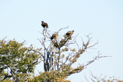Geier in der Nähe von Aas. Etosha National Park