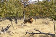 Löwe im Mopanewald. Etosha National Park