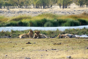 Junge Löwinnen an einer grünen Wasserstelle. Etosha National Park