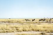 Einzelner Elefant zieht dem Rand der Etosha-Pfanne entlang an Zebras vorbei